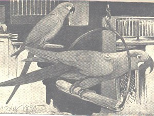 Monochrome illustration of Glaucous Macaw with Spix's Macaw
