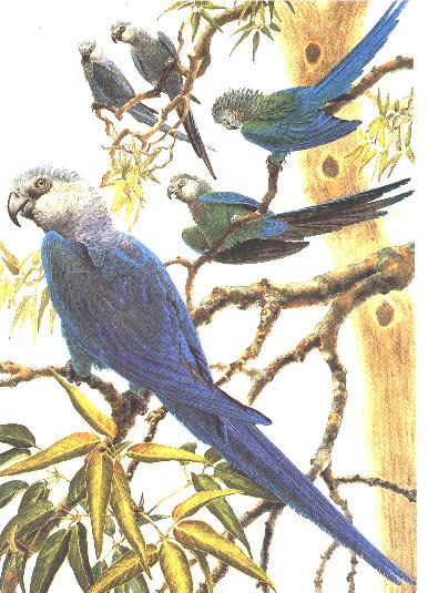 A flock of Spix's Macaws as imagined in a painting