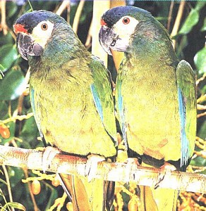 A pair of Illiger's Macaws