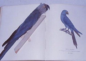 Illustration of Spix's Macaw