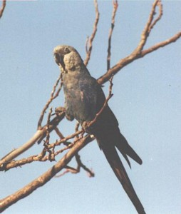 Female Spix's Macaw perching in a tree